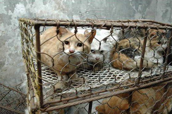 Kung Pao Nightmare China Consumes 4 Milllion Cats
