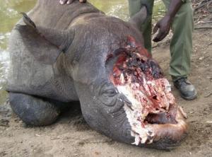 Poaching-rhinos