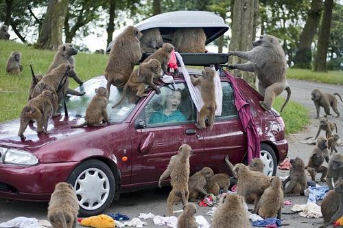 Monkeys-Attack-Car