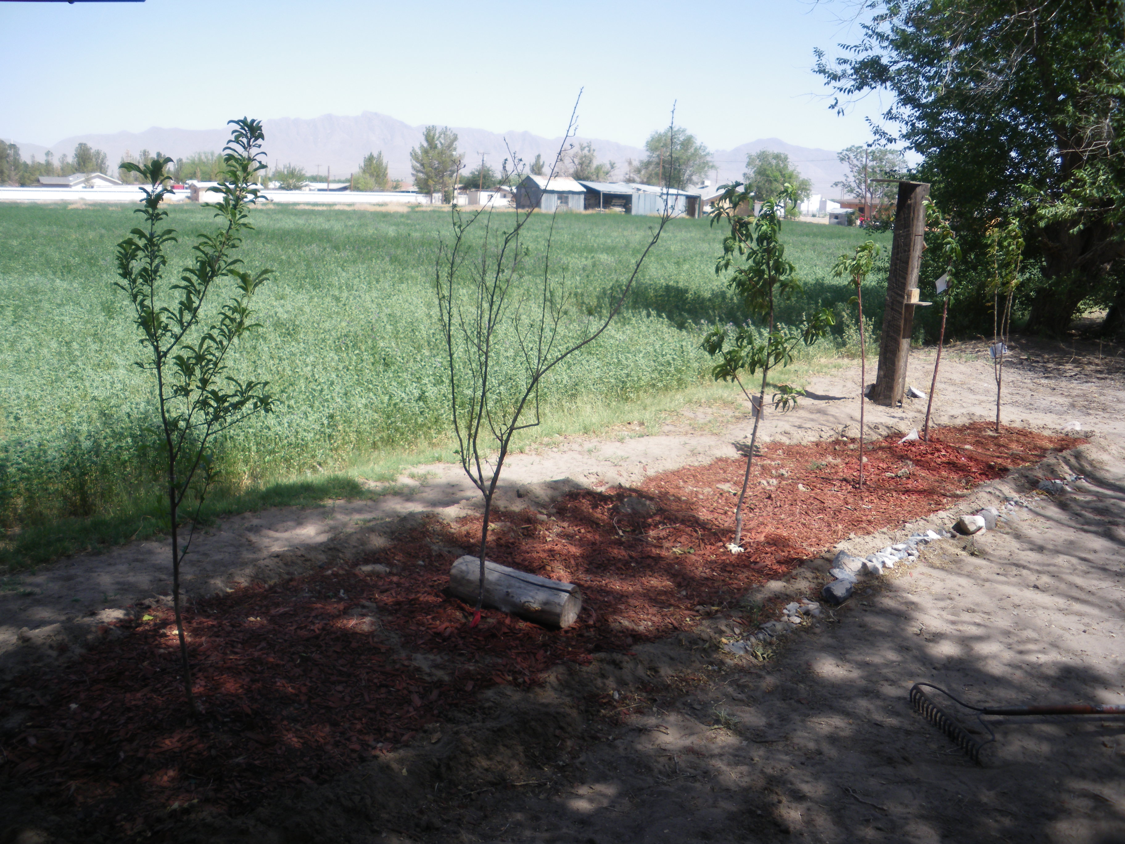 New Fruit Trees and Franklin Mountains